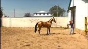 Насладете се на удивително обучение на един от най-красивите коне в света