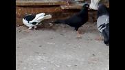 пз гълъби