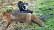 Южно - Камчатский кот и лиса. Знакомство