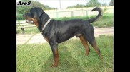 Rottweiler - Ares