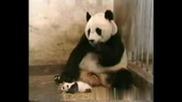 Панда се стряска от бебето си