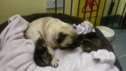 UK: Peppa the pug becomes unexpected mother to 3 abandoned kittens