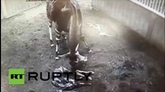 Великобритания: Вижте раждането на рядък животински вид - окапи - в зоологическата градина в Честър