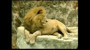Показаха за пръв път три бебета лъвчета в зоопарк в Колумбия