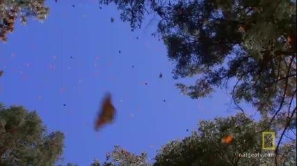 [1080p] Изумително! Великата миграция на пеперуди