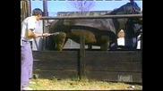 Смях коня наритва стопанина си