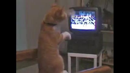 Котарак се вживява докато гледа боксов мач