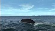 Сините китове - най - големите животни на земята.