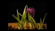 Time Lapse на лилаво минзухарче