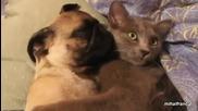 Куче досадно хърка на ухото на коте, смях