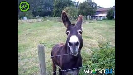 Най - лудото магаре - голям смях