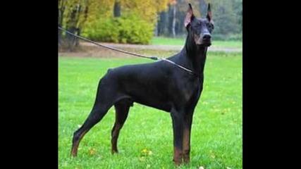 dustubak бойни кучета