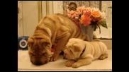 Неустуими набръчкани кученца