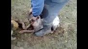 Dogo Argentino, Pitbull, Foksterier