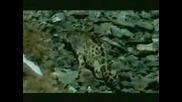 Снежен Барс - Ирбис  ловува !#2