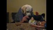 Labrador qde - Bg