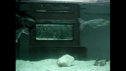 пангас акули