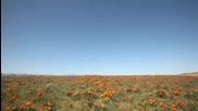 California Wildflower_poppies 2009