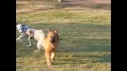 Разходка На Кучета