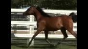 for Dani - Arabian Horses
