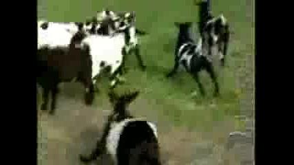 Луди Кози