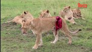 Graphic Footage of Lioness Mauled by Buffalo -