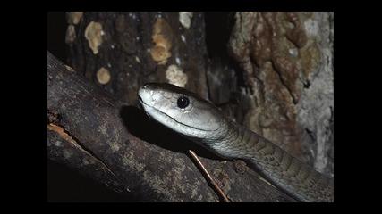 Черна Мамба Най - отровната змия в Африка