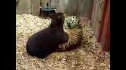 Тигър И Мечка Се Бият - Опасно Забавление