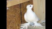 Uzbek pigeons