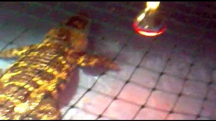 Алигатор яде пуканки [международен Панаир Пловдив]