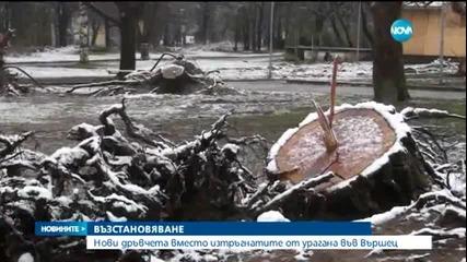 Нови дръвчета в опустошения парк на Вършец