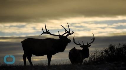 Elk Killing at Colorado's Rocky Mountain National Park