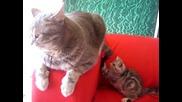 Котенце се закача с майка си