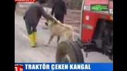 Най - Голямото И Мощно Куче В Света Тегли Трактор Без Проблем