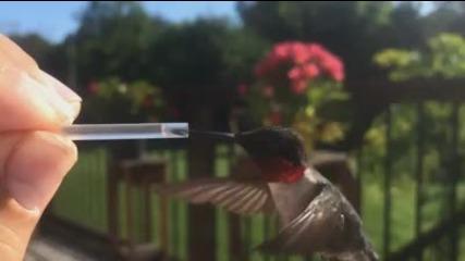 Да нахраниш колибри
