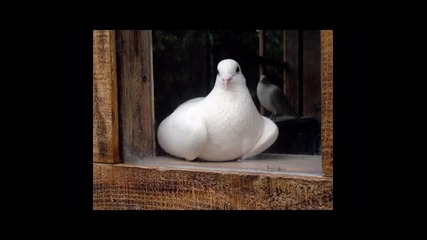 Славка Калчева - бели гълъби Hq