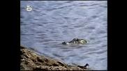 Хипопотам Защитава Антилопа От Крокодил