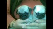 Сладки Малки Кученца