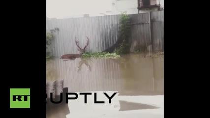 Русия: Животни от зоологическата градина в Усурийск на свобода след голямо наводнение