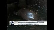 Историческо раждане на бебе хипопотам в шведски зоопарк