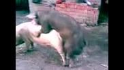 Ето че и прасетата правиат любов - може и секс да се нарече