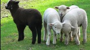 Rainbow - ( Dio ) Black Sheep Of The Family