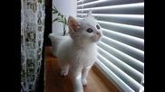 Моята котка - Ангорска