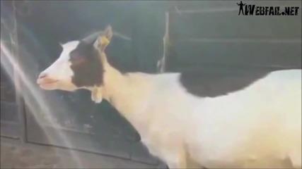Смях! Компилация овци крещят като хора