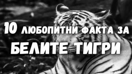 10 любопитни факта за белите тигри