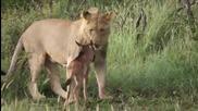 Лъв защитава малкo гну !