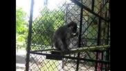 Крадлива маймунка от Ловеч
