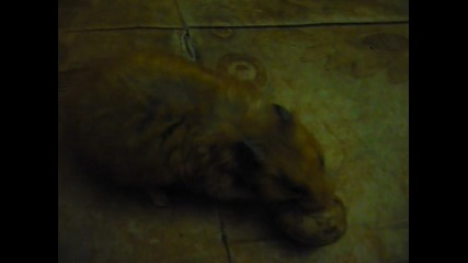 Prokletiq hamster 2