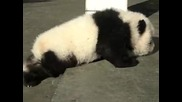 Много сладко бебе панда