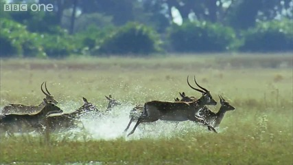 [ H D ] Leaping Lechwe